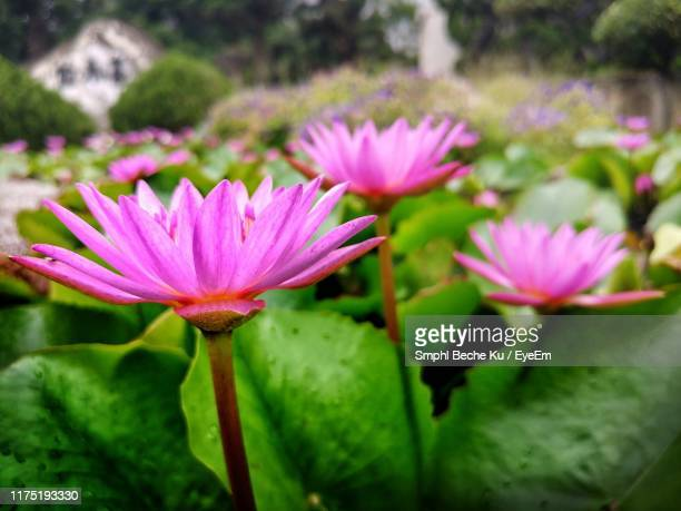 close-up of pink flowering plant - beche stock pictures, royalty-free photos & images