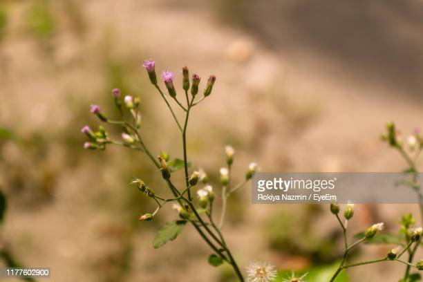 close-up of pink flowering plant - khulna stock photos and pictures