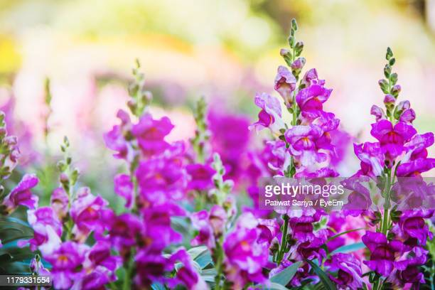 close-up of pink flowering plant - flowering plant stock pictures, royalty-free photos & images