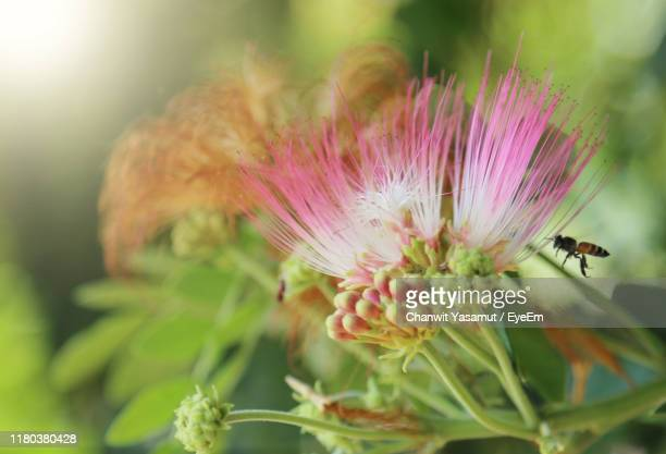 close-up of pink flowering plant - thai mueang photos et images de collection