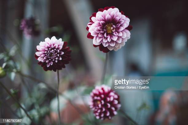 close-up of pink flowering plant - bortes stock pictures, royalty-free photos & images