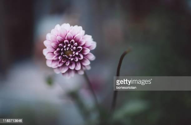 close-up of pink flowering plant - bortes foto e immagini stock