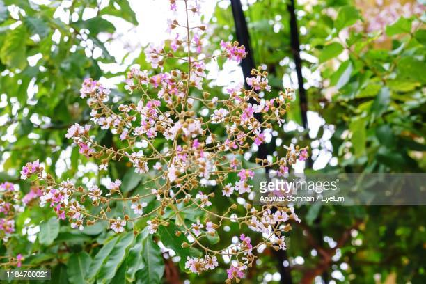 close-up of pink flowering plant - anuwat somhan stock photos and pictures