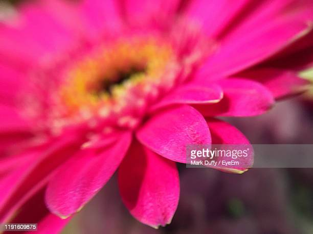 close-up of pink flowering plant - mark bloom stock pictures, royalty-free photos & images