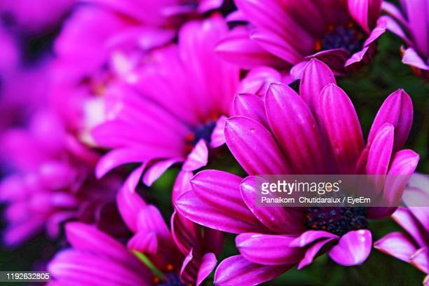 close-up of pink flowering plant - panaikorn chutidaralux stock photos and pictures