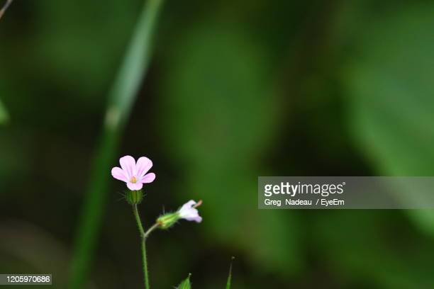close-up of pink flowering plant - greg nadeau stock pictures, royalty-free photos & images