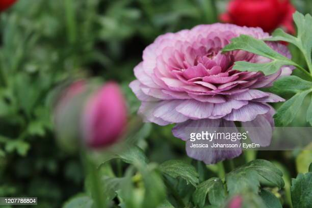 close-up of pink flowering plant - vaxjo stock pictures, royalty-free photos & images