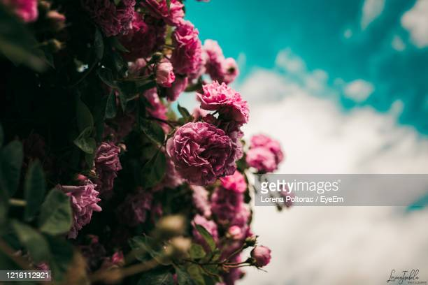 close-up of pink flowering plant - lorena day stock pictures, royalty-free photos & images
