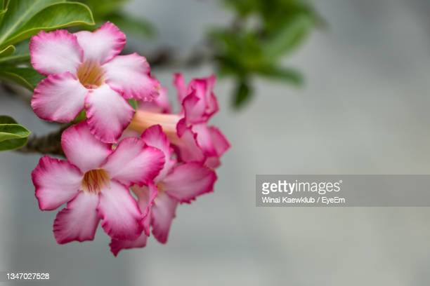 close-up of pink flowering plant - flower part stock pictures, royalty-free photos & images