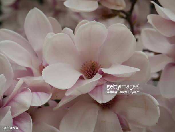 close-up of pink flowering plant - apple blossom stock pictures, royalty-free photos & images