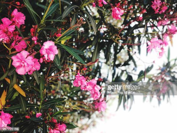 close-up of pink flowering plant - noemi foto e immagini stock