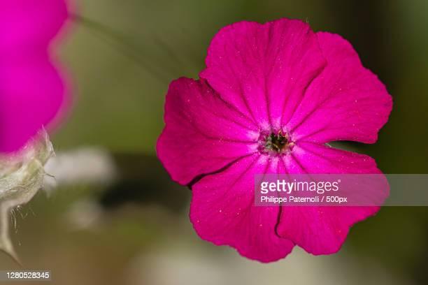 close-up of pink flowering plant,la roseraie de saverne,france - fleur flore stock pictures, royalty-free photos & images