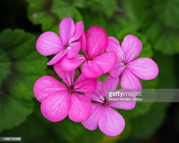 close-up of pink flowering plant,pasadena,california,united states,usa - pasadena california stock pictures, royalty-free photos & images