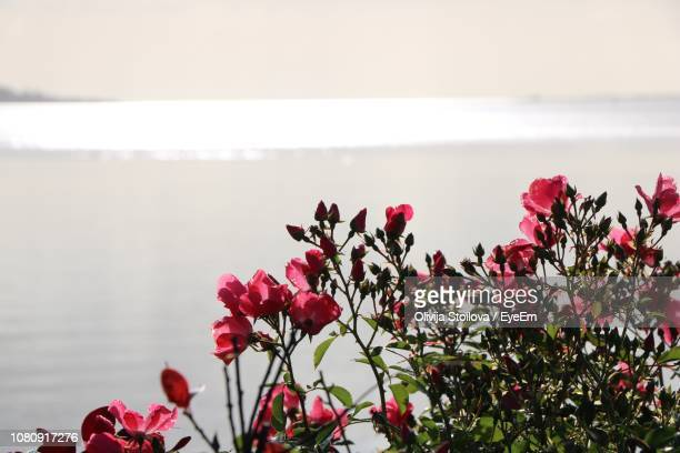 Close-Up Of Pink Flowering Plants By Sea Against Sky