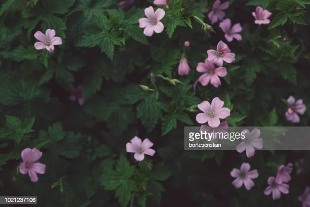 close-up of pink flowering plants in park - bortes fotografías e imágenes de stock