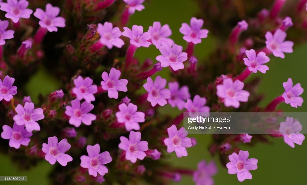 Close-Up Of Pink Flowering Plants In Park : Stock Photo