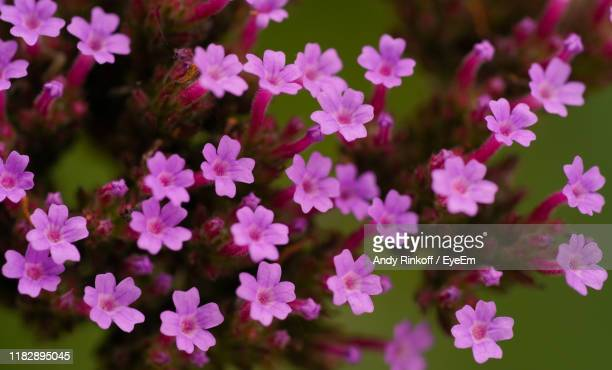 close-up of pink flowering plants in park - andy rinkoff stock pictures, royalty-free photos & images