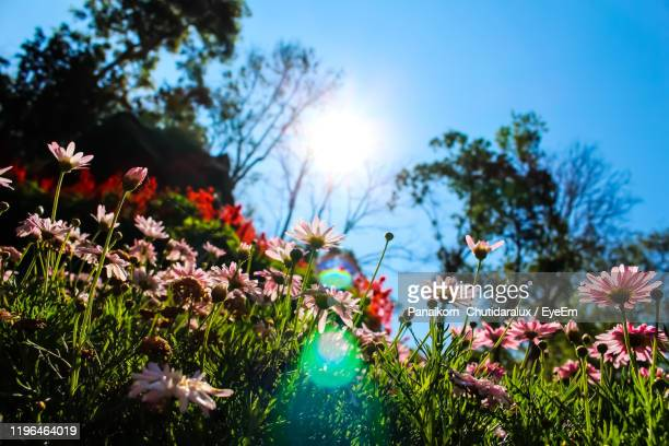 close-up of pink flowering plants on field against sky - panaikorn chutidaralux stock photos and pictures