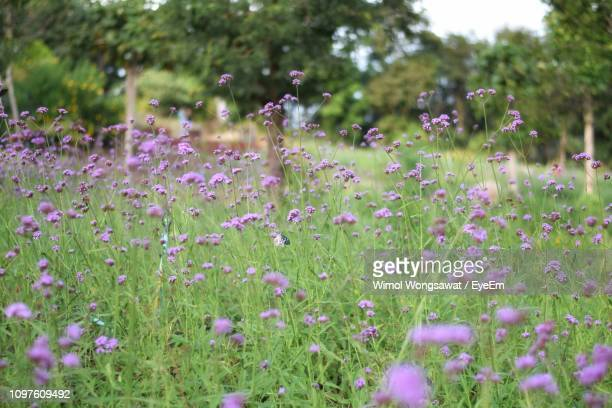 close-up of pink flowering plants on field - wimol wongsawat stock photos and pictures