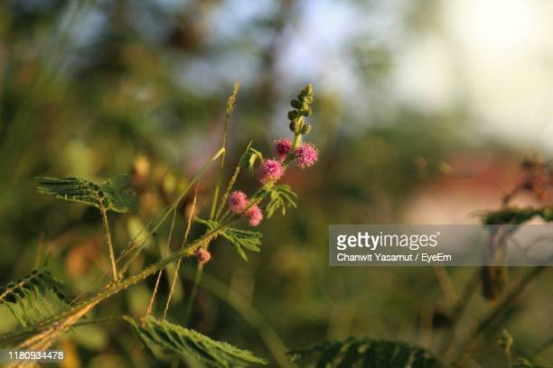 close-up of pink flowering plants on field - thai mueang photos et images de collection