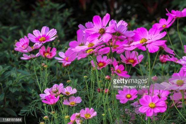 close-up of pink flowering plants on field - cosmos flower stock pictures, royalty-free photos & images