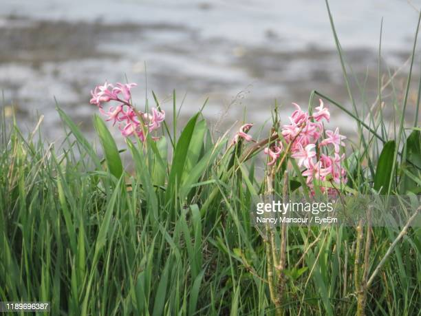 close-up of pink flowering plants on field - nancy green stock pictures, royalty-free photos & images