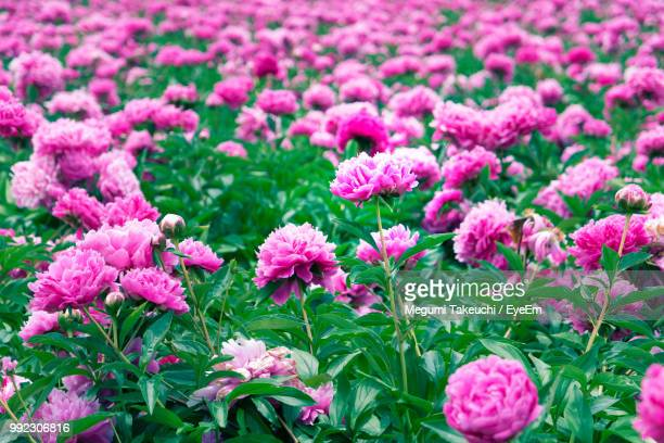 close-up of pink flowering plants on field - peonia foto e immagini stock