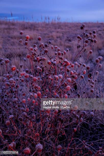 close-up of pink flowering plants on land against sky - rachel wolfe stock pictures, royalty-free photos & images