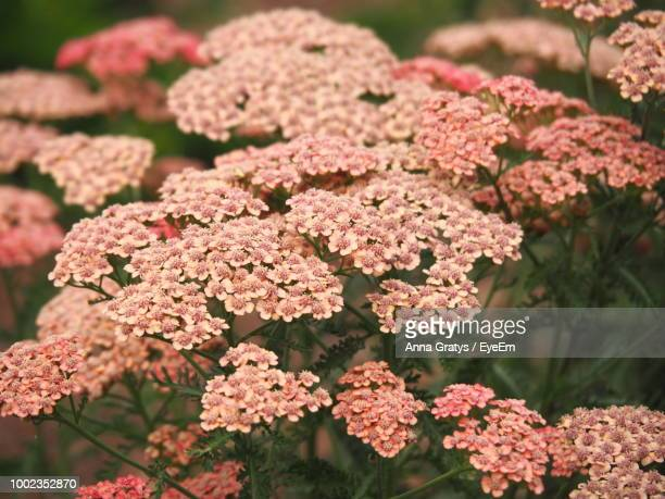 close-up of pink flowering plants - yarrow stock pictures, royalty-free photos & images