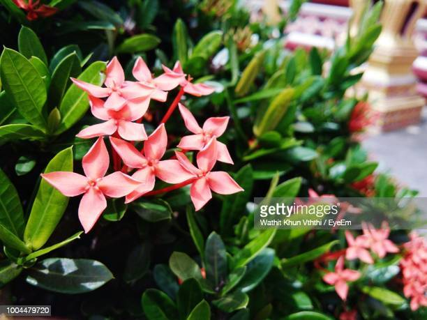 close-up of pink flowering plants - tropical bush stock photos and pictures
