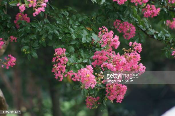 close-up of pink flowering plants - lantana stock pictures, royalty-free photos & images
