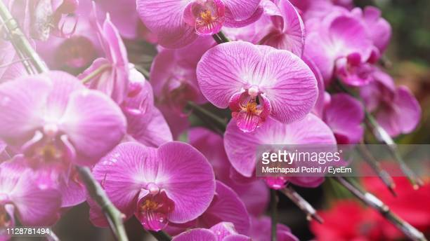close-up of pink flowering plants - metthapaul stock photos and pictures