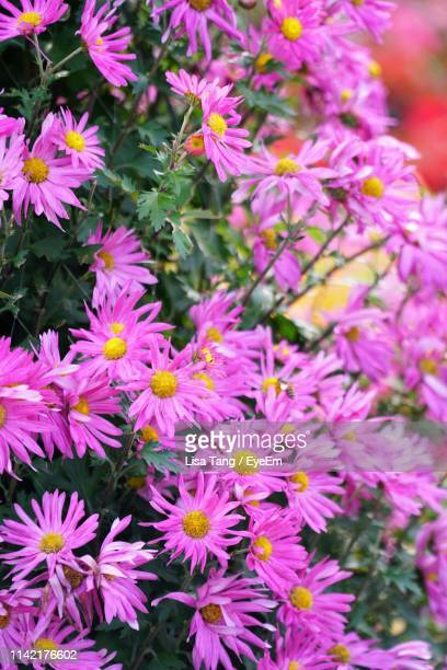 close-up of pink flowering plants - lisa tang stock photos and pictures