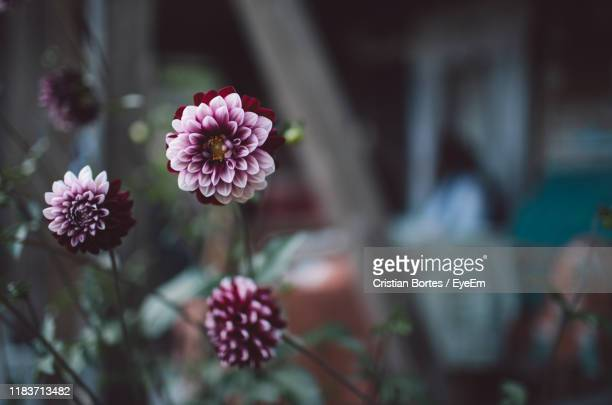 close-up of pink flowering plants - bortes stock pictures, royalty-free photos & images
