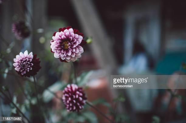close-up of pink flowering plants - bortes foto e immagini stock