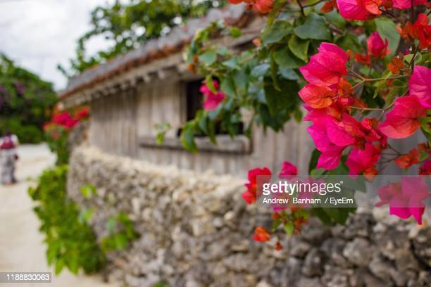 close-up of pink flowering plants - okinawa prefecture stock pictures, royalty-free photos & images
