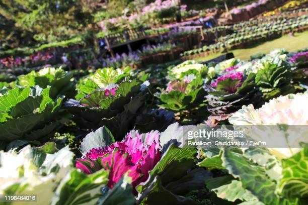 close-up of pink flowering plants - panaikorn chutidaralux stock photos and pictures