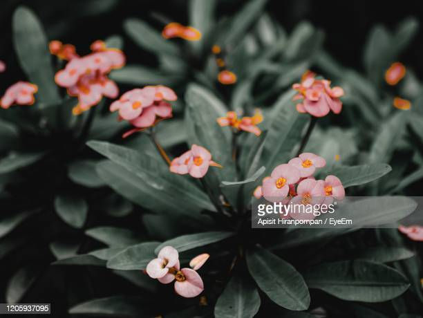 close-up of pink flowering plants - apisit hiranpornpan stock pictures, royalty-free photos & images