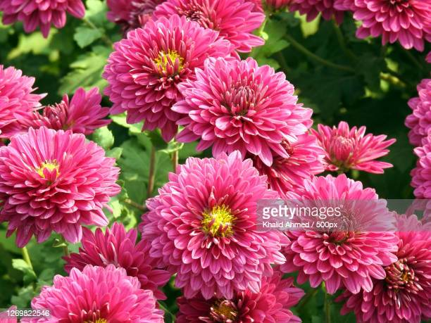 close-up of pink flowering plants - chrysanthemum stock pictures, royalty-free photos & images