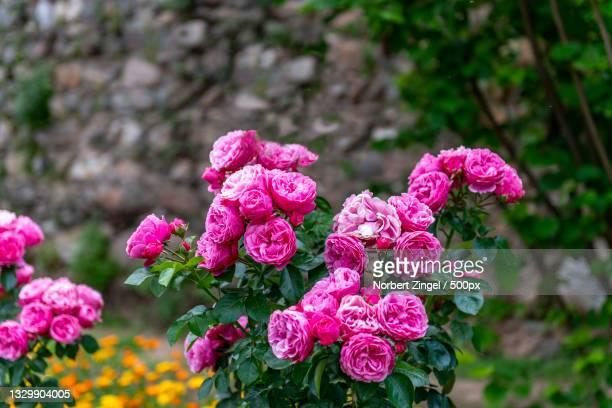 close-up of pink flowering plants,spain - norbert zingel stock-fotos und bilder