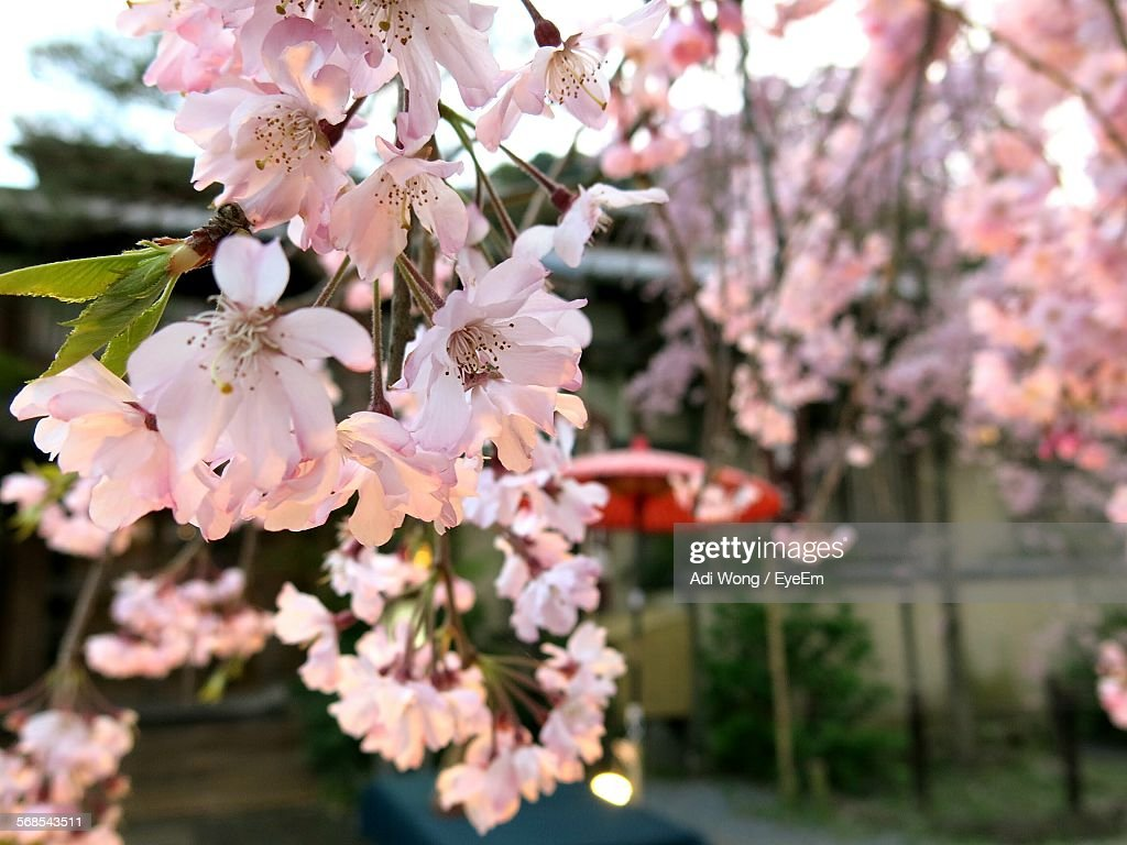 Close-Up Of Pink Flowering Tree In Yard : Stock Photo