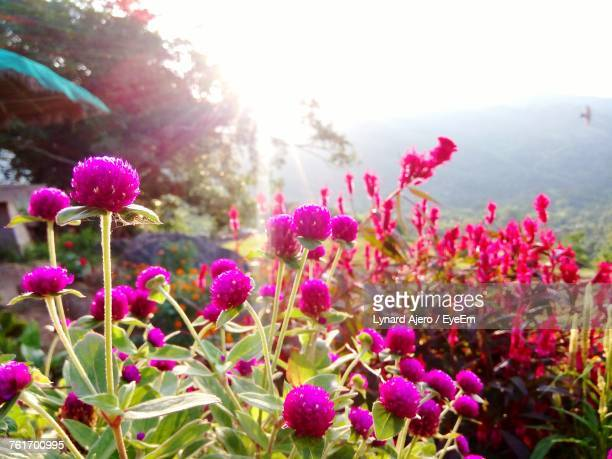 close-up of pink flowers blooming against sky - cebu stock photos and pictures