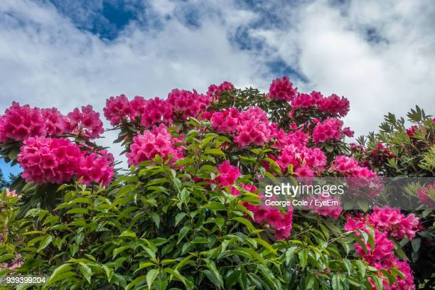 close-up of pink flowers blooming against sky - heather cole stock pictures, royalty-free photos & images