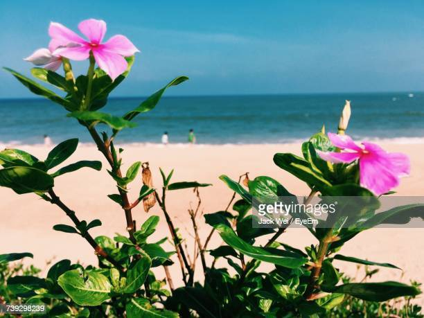 close-up of pink flowers blooming by sea against sky - boao economic forum stock pictures, royalty-free photos & images
