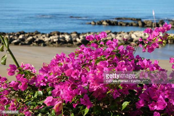 Close-Up Of Pink Flowers Blooming By Sea Against Sky