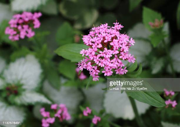 close-up of pink flowers blooming in park - lantana stock pictures, royalty-free photos & images