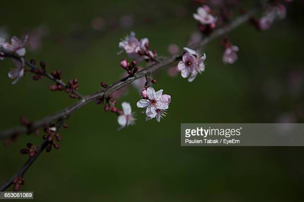 close-up of pink flowers blooming in park - paulien tabak stock pictures, royalty-free photos & images