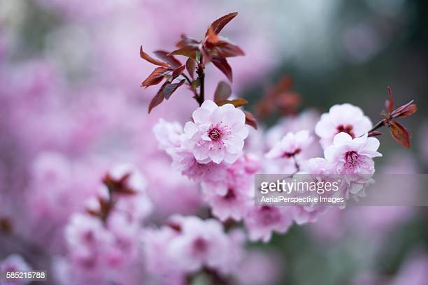 close-up of pink flowers blooming on tree - peach blossom stock pictures, royalty-free photos & images