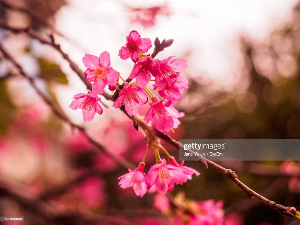 Closeup Of Pink Flowers Blooming On Tree Stock Photo Getty Images