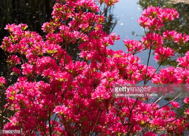 close-up of pink flowers blooming on tree - olivier schittenhelm photos et images de collection